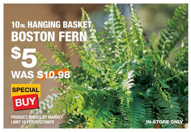 Lee más sobre el artículo 10-Inch Hanging Basket Boston Ferns a solo $5 en Home Depot